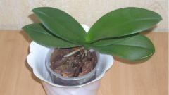 Можно ли самостоятельно размножать орхидеи