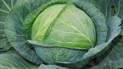 Чем удобрять белокочанную капусту