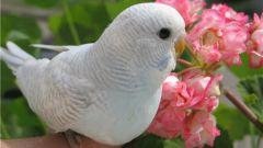 Какая любимая еда волнистого попугая