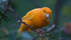 Что такое птичий клей