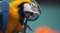 Попугай - это умная птица или просто повторяющая запомненные фразы?