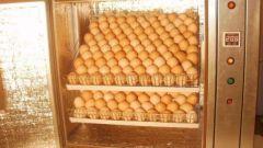 Какая нужна температура и влажность для вывода цыплят в инкубаторе