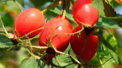 Плоды шиповника: лечебные свойства