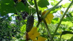 Where to plant cucumbers is better: the sun or in the shade