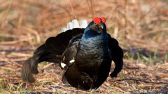 Красивая птица тетерев: среда обитания