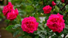 In which month can be planted in the soil of the rose: features