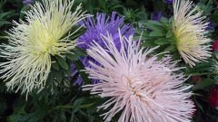 How to deal with Fusarium on the asters