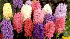 Гиацинт микс – прекрасный цветок с упоительным запахом