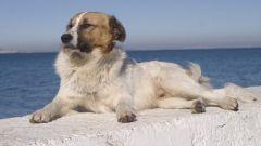 Демодекоз у собак: симптомы и причины