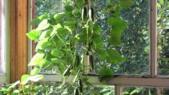 What variety of cucumbers are best suited for balcony: a review