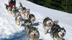 Какие собаки лучше подходят в упряжку