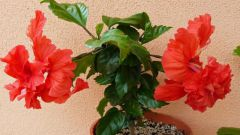 Hibiscus, or China rose: home care