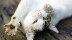 Чем мурлыкают коты