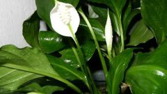 Why the Spathiphyllum yellow leaf edges