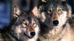 Is it true that wolf one and wolf for life