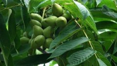 How grow walnut to fruiting