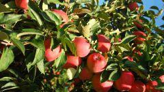 Нужна ли обрезка яблонь летом: особенности ухода