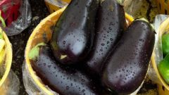 Уход за баклажанами в теплице: советы огороднику
