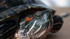 Why the red-eared terrapins became soft shell