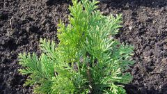Как размножать хвойные растения черенками