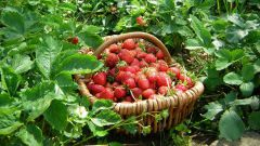 Нужно ли обрезать листья у земляники после плодоношения
