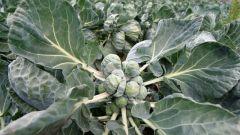 Как выглядит брюссельская капуста