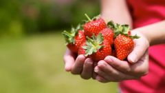 How to care for strawberries after harvest