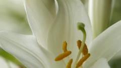 Выращиваем лилии на своем участке