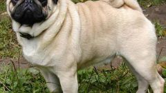 How to name the pug-boy