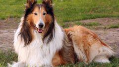 Какие имена подходят для собак породы колли
