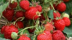 When and what fertilizer to use for strawberries