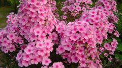 Все о флоксах: как сажать и выращивать