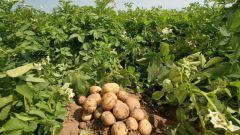 Как вырастить семена из картофеля