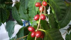 Growing coffee from seed: rules and nuances