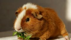 How to recognize pregnancy in the Guinea pig