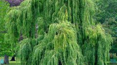 Willow why called weeping