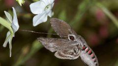 Какие бабочки ведут ночной образ жизни