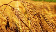 Чем отличаются твердые сорта пшеницы от мягких