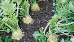 Как посадить корневой сельдерей
