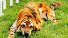 Как покрасить собаку