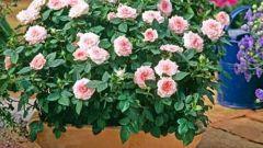 Почему опадают листья у комнатной розы