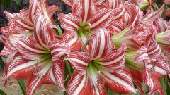 Гиппеаструм: уход за цветком, особенности содержания