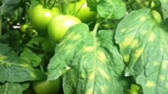 Why yellow lower leaves of tomatoes