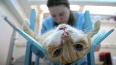 Как подготовить кошку к стерилизации