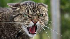 Почему кошка проявляет агрессию