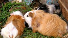 How to treat worms in Guinea pigs
