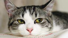 Как давать слабительное кошке