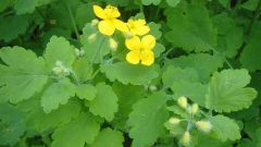 How to collect and dry celandine