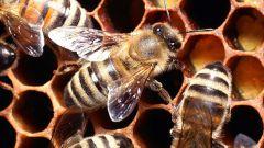 Как давать пчелиную пергу детям