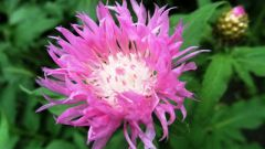 Левзея сафлоровидная: от выращивания до лечения